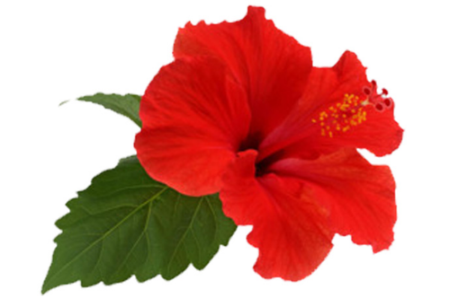 Pink Hibiscus Flower Dry Powder Rs 300 Kilogram Hasty Exports