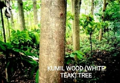 Kumil Wood White Teak Wood Tree