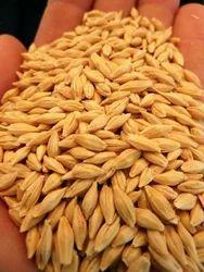 Tiger Barley Seeds, Pack Size: 30 kg and 50 kg