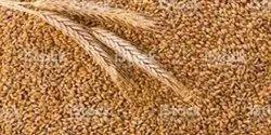 GNG Organic Wheat - MP Sharbati
