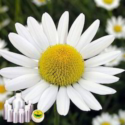 Chamomile German Oil Certified Organic