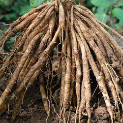 Dry Shatavari Root