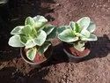 Houseplant Dark Green & White Variegated Peperomia For Indoor Plant