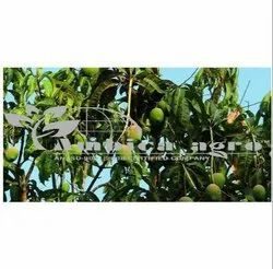 MANGO PLANTS - KESHAR MANGO PLANTS Manufacturer from Anand