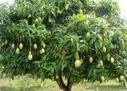 Dussehri Mango Plant
