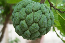 Mandar's Frozen Custard Apple (Sitafal)