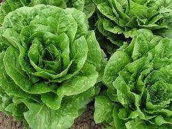Kristine Oakleaf Lettuce Seeds