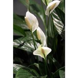 Lily Flower Asiatic