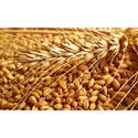 Sehore Wheat Grain