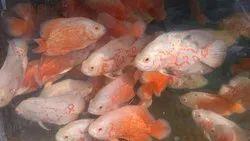 Oscar Fishes
