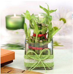 Nurturing Green Lucky Bamboo Two Layer round glass pot at Rs 399 /1