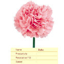 Cut Flower Caryophyllaceae Bubu Carnation Plant, The Netherlands, For Decoration And Events
