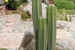 Lemaireocereus Marginatus Plant