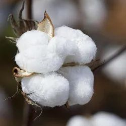 Natural Non BT Cotton Seeds, For Agriculture, Packaging Type: Plastic