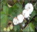 936 Hybrid Cotton Seeds