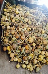 Kateli Phal - Choti Kateli Fruit