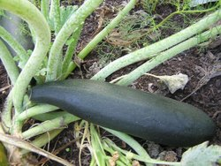 Black Beauty Squash Seeds, Packaging Type: Packet, Packaging Size: 100g