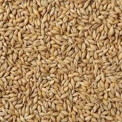 Cattle Feed Barley Grain