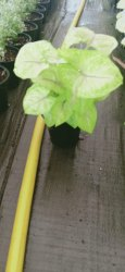 Green Golden Syngonium