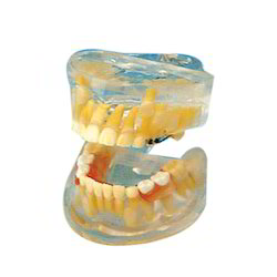 Transparent Milk Teeth Development Model/ Dental Care Model