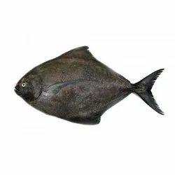 Black Pomfrets Fish