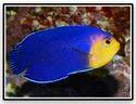 Pygmy Angelfish