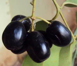 Mandar's Frozen Kala Jamun (Black Jamun)