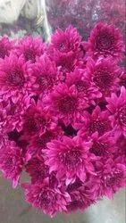 Natural Dark Pink Hybrid Chrysanthemum Flower Bouquet