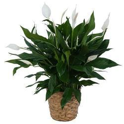 Spathiphyllum Peace Lily Plant