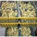 Duck Farming Service