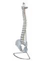 Life Size Human Spinal Vertebral Column Models