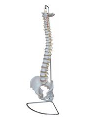 Human Spinal Vertebral Column Models