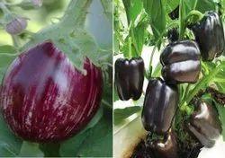 Hybrid Brinjal Seeds, Packaging Type: Packet, Packaging Size: 100g