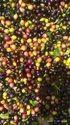 Kadipatta Seed Vegetable Seed