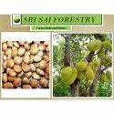 Artocarpus Heterophyllus Seed