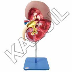 Kidney For Excretory System