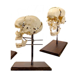 Disarticulated Skull Models