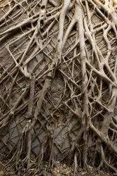 Banyan Roots -Bad -  Bargad