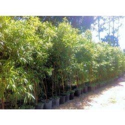 Fast Growth Giant Bamboo Plants