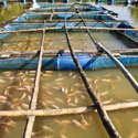 Plankton Growth for Aquaculture