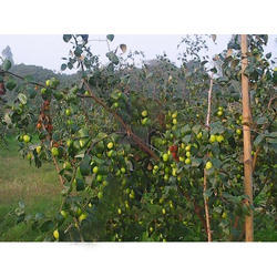 Apple Ber Plants With Fruit
