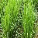Simridhi Vetiver Grass Slips
