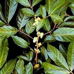 Muira Puama Extracts