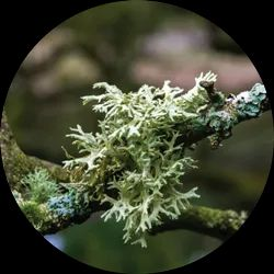Oakmoss Essential Oil