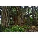 Ficus Benghalensis Banyan Marri Ala Tree