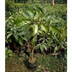 Dwarf Lychee Plant