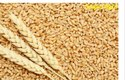 Wheat Seed New Protein-Rich Wheat Variety HD3226 Pusa Yasasvi