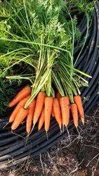 Carrot Seeds- Kuroda ( Imported), Packaging Size: 300gm