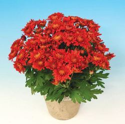 Rocha Chrysanthemum Pot Plant