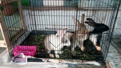 Breed Rabbits in Chennai - Latest Price & Mandi Rates from